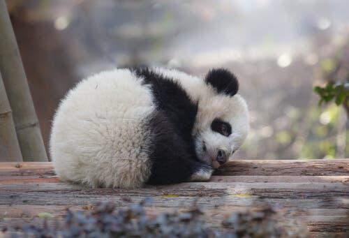 Curiosidades sobre o urso panda