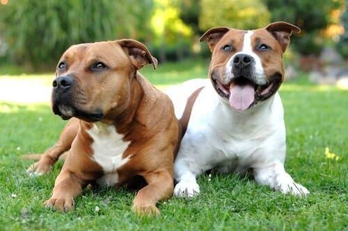 Características físicas do American Staffordshire Terrier