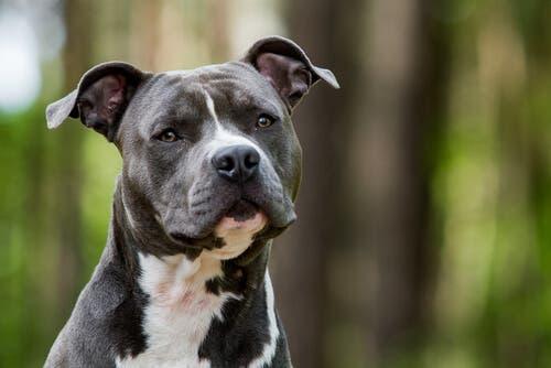 Tudo sobre o American Staffordshire Terrier