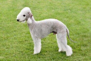 Bedlington terrier: características e personalidade