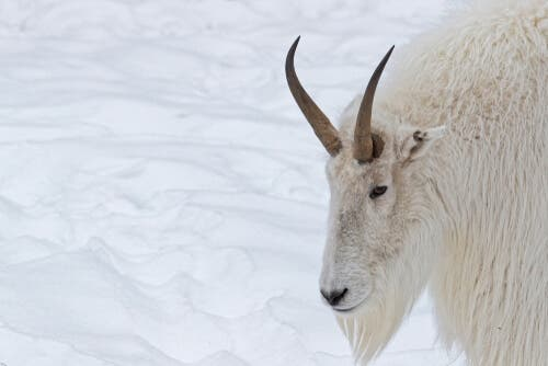 Morfologia das cabras das Montanhas Rochosas