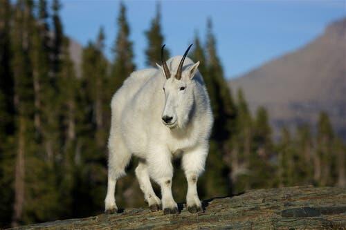 As cabras das Montanhas Rochosas