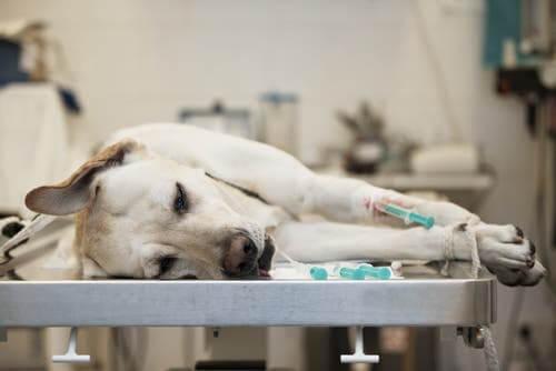 Hepatite infecciosa canina