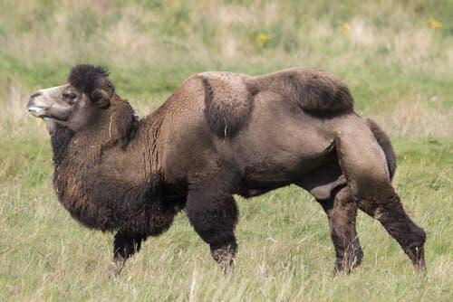 Camelo-bactriano: alimentação e habitat