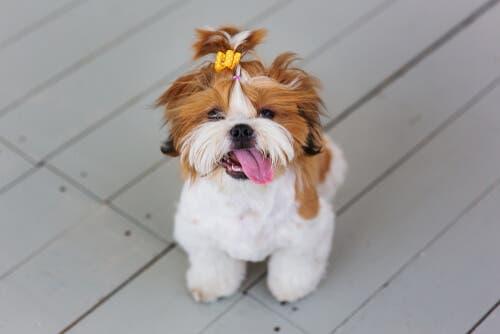 Cães toy: Shih tzu