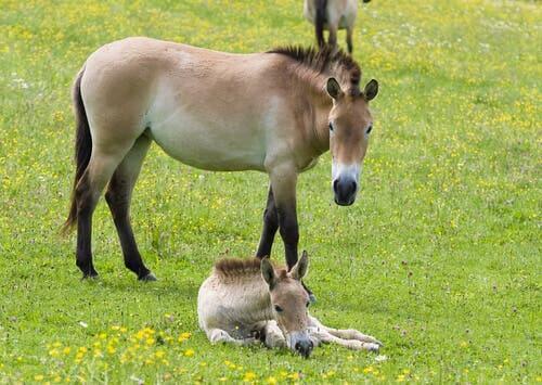 O cavalo da Mongólia