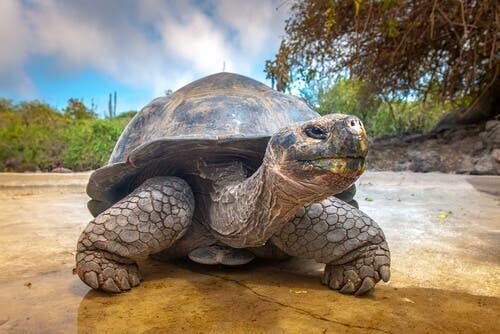 A origem da tartaruga