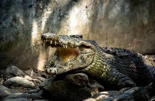 Os crocodilos são agressivos?