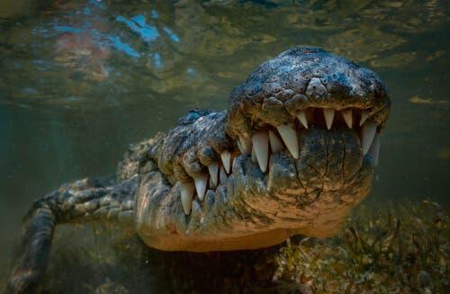 Tipos de crocodilos