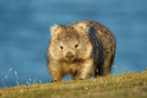 Curiosidades sobre os wombats