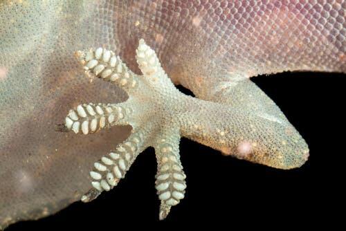 Geckos: alimentação e características