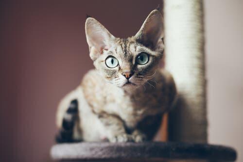 A educação do gato Devon rex