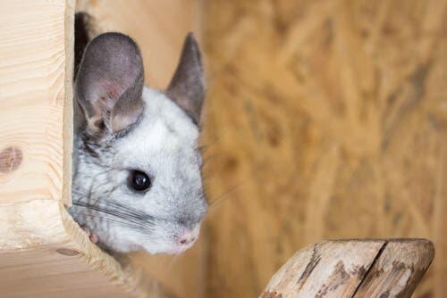 problemas digestivos em roedores