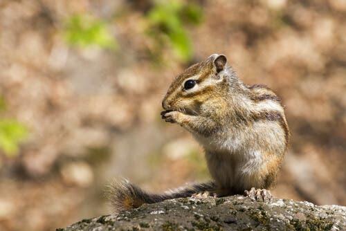 Quais são as doenças do esquilo-da-sibéria?
