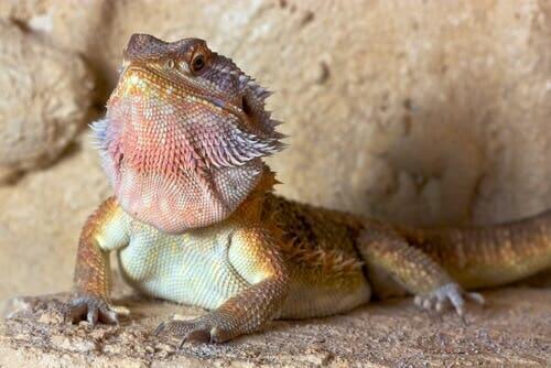 Como reconhecer um dragão-barbudo?
