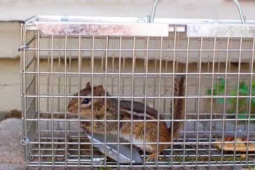 as doenças do esquilo-da-sibéria