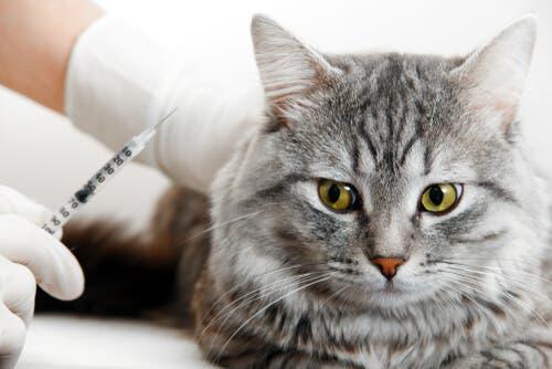 Fibrossarcoma felino