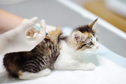 Fibrossarcoma felino: tratamento e cuidados