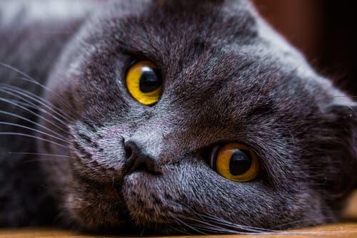 A saúde do gato de pelo curto inglês