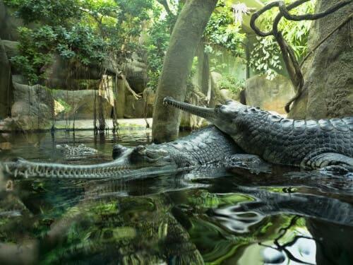 O gavial ou crocodilo de focinho estreito