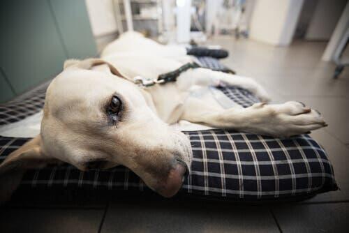 Hepatite infecciosa canina: sintomas e causas