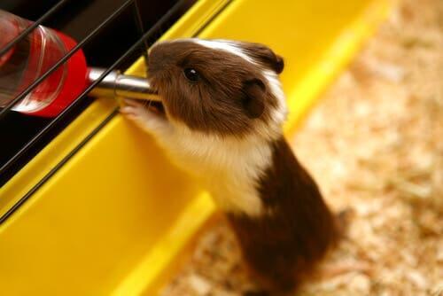 A hidratação dos roedores