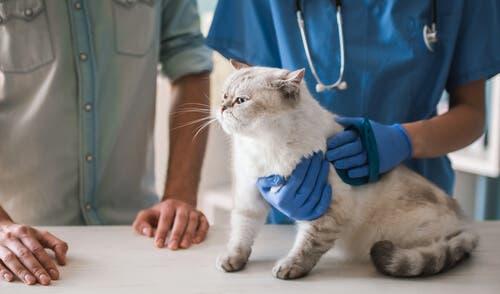 Levar o gato ao veterinário é essencial
