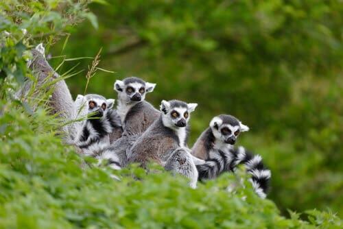 Lêmure-de-cauda-anelada: características, comportamento e habitat