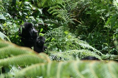 Luto em gorilas