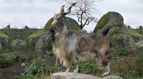 O markhor: a cabra com grandes chifres