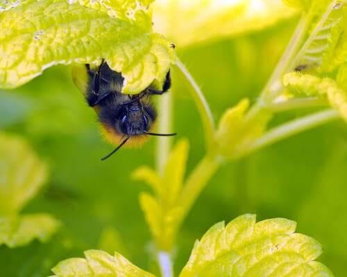 Flores que atraem as abelhas: melissa