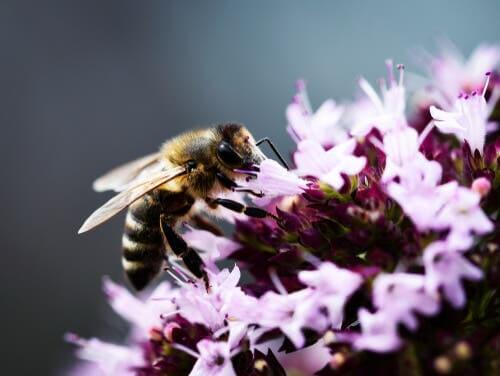 Flores que atraem as abelhas: orégano