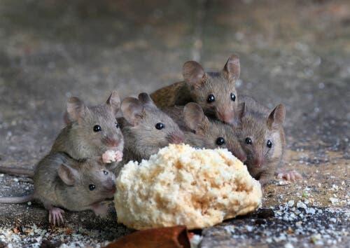Os parasitas mais comuns em roedores
