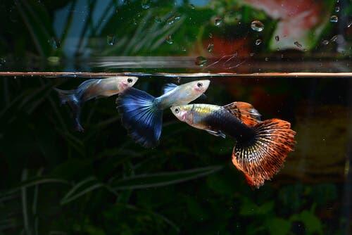 a reprodução em um aquário