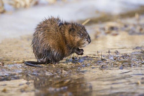 O rato-almiscarado