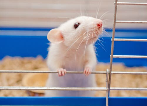 Ratos e camundongos: cada vez mais populares