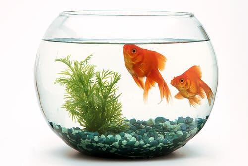 Como é a reprodução em um aquário?