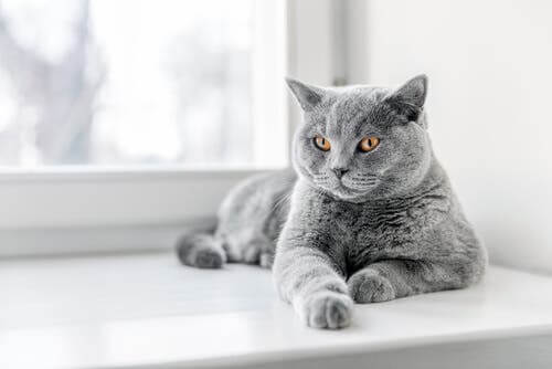 A Saúde Do Gato De Pelo Curto Inglês Meus Animais