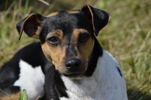 Características da raça terrier brasileiro