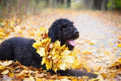 O terrier preto da Rússia: um excelente cão de guarda