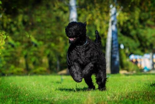 O terrier preto da Rússia
