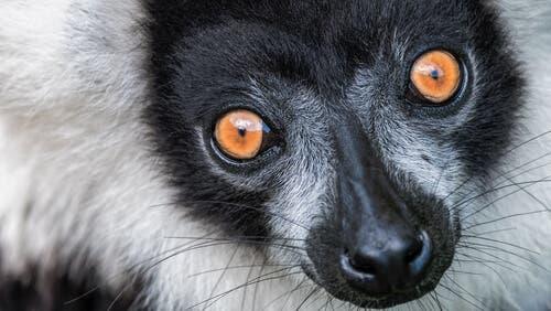Varecia-preto-e-branco: características, comportamento e habitat