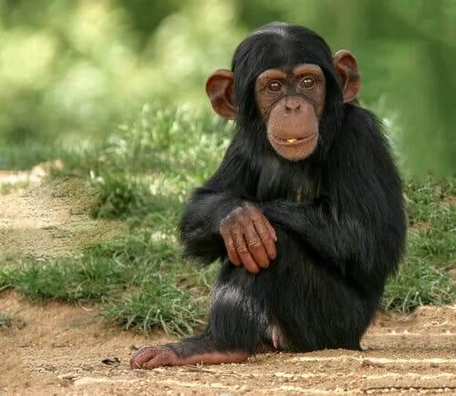 vídeo de um chimpanzé usando um celular