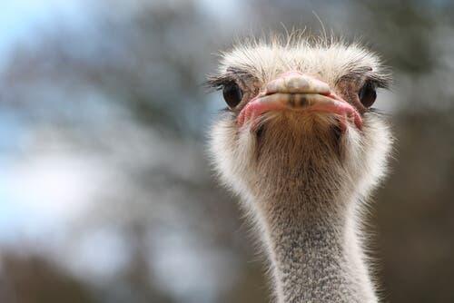 Habitat e alimentação do avestruz
