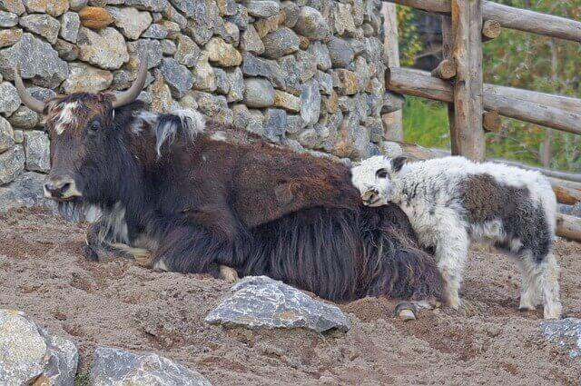 Iaque: o touro doméstico
