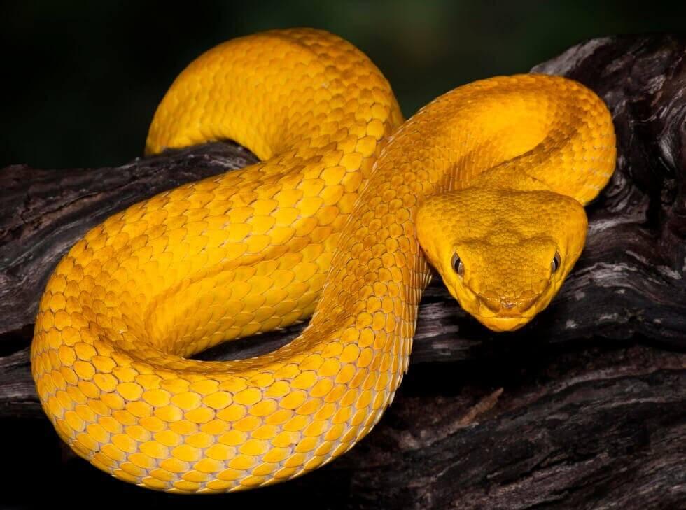 Cobras do salvadoras