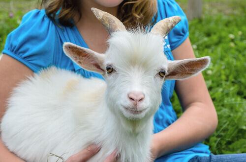 A cabra anã: um animal adorável para ter em casa