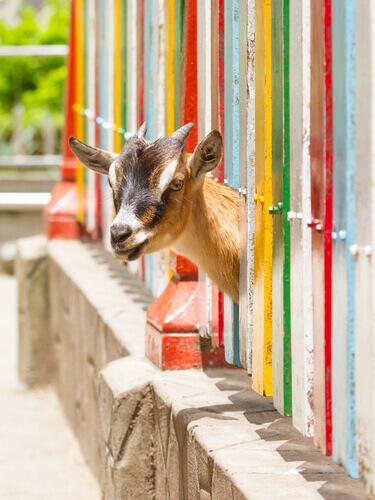 Características da cabra anã
