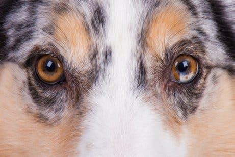 Os cães enxergam apenas em preto e branco