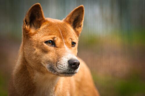 Dingo: uma subespécie de lobo que vive na Austrália